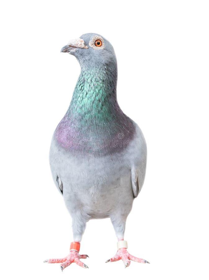 Le plein corps de l'oiseau de pigeon d'emballage de vitesse a isolé le fond blanc image stock
