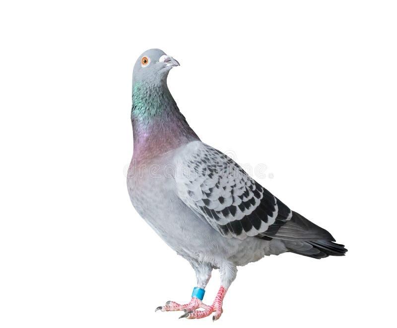 Le plein corps de l'oiseau de pigeon d'emballage de vitesse a isolé le fond blanc photos stock