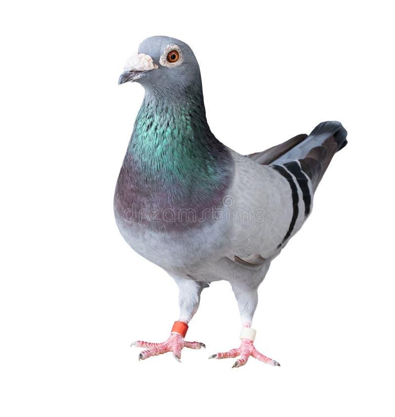 Le plein corps de l'oiseau de pigeon d'emballage de vitesse a isolé le fond blanc photos libres de droits