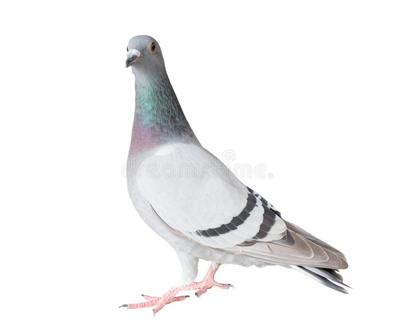 Le plein corps de l'oiseau de pigeon voyageur a isolé le fond blanc image libre de droits