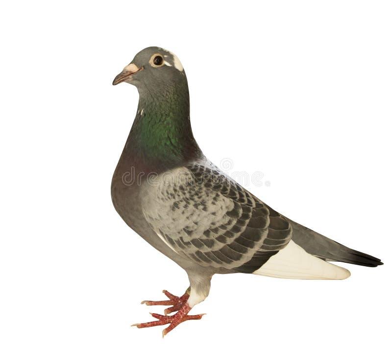 Le plein corps du pigeon d'emballage de vol de vitesse a isolé le backgroun blanc images libres de droits