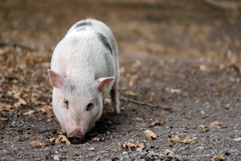 Le plein corps du Vietnamien blanc noir de race de porc Pot-s'est gonflé photographie stock libre de droits