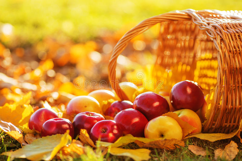 Le plein panier des pommes organiques juteuses rouges avec le jaune part sur l'Au image stock