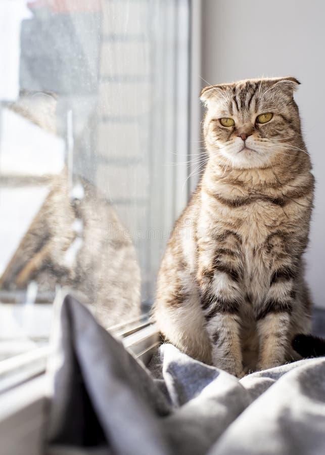 Le pli écossais de chat sérieux et réfléchi ressemble à un hibou se reposant sur un rebord de fenêtre sous la fenêtre et se dore  photos stock