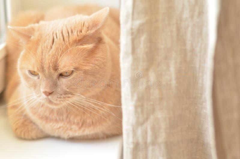 Le pli britannique de chat rouge mignon sérieux se trouvant sur le rebord de fenêtre a d'une manière ordonnée plié ses pattes et  photo libre de droits