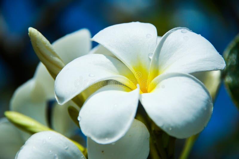 Le plumeria blanc frais fleurit en jours bleus lumineux photos stock