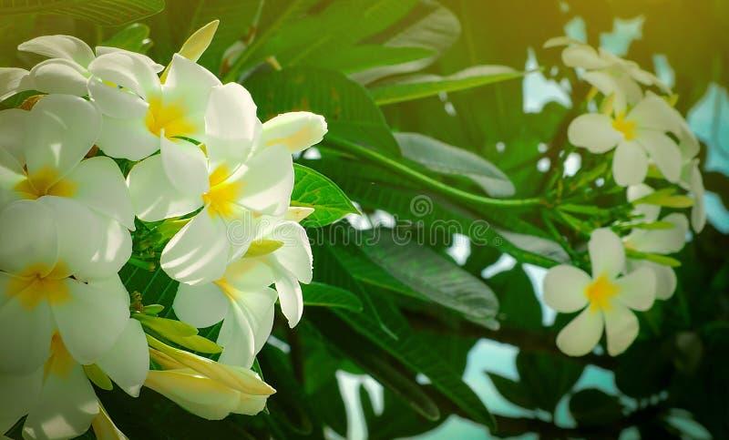 Le Plumeria de fleur de Frangipani alba avec le vert part sur le fond brouillé Fleurs blanches avec le jaune au centre Santé et s photo stock