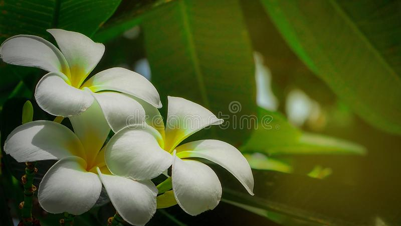 Le Plumeria de fleur de Frangipani alba avec le vert part sur le fond brouillé Fleurs blanches avec le jaune au centre Santé et s photos stock