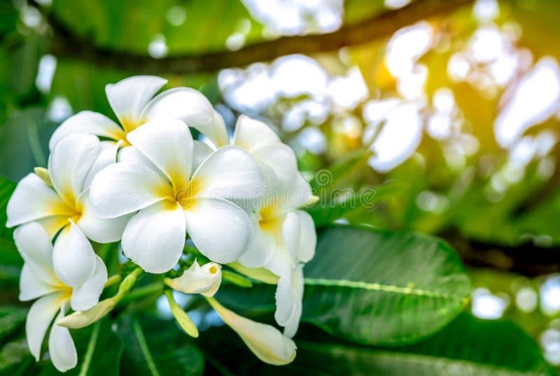 Le Plumeria de fleur de Frangipani alba avec le vert part sur le fond brouillé Fleurs blanches avec le jaune au centre Santé et s photo libre de droits