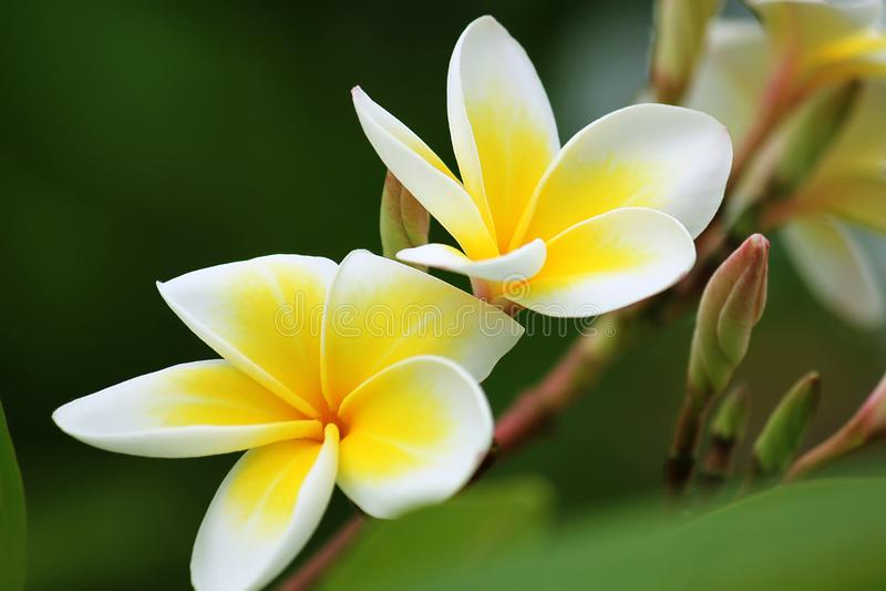 Le Plumeria est des espèces éternelles d'une usine fleurissante image libre de droits