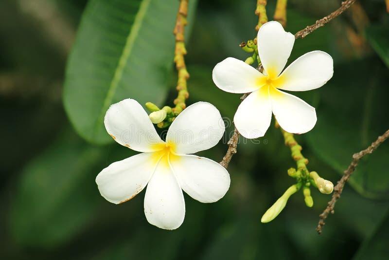 Le Plumeria est des espèces éternelles d'une usine fleurissante photographie stock