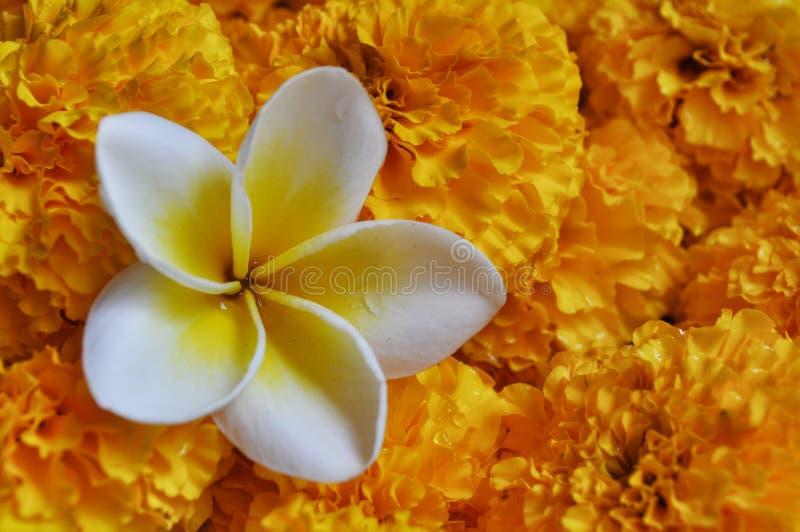 Le Plumeria et les soucis fleurissent photographie stock libre de droits