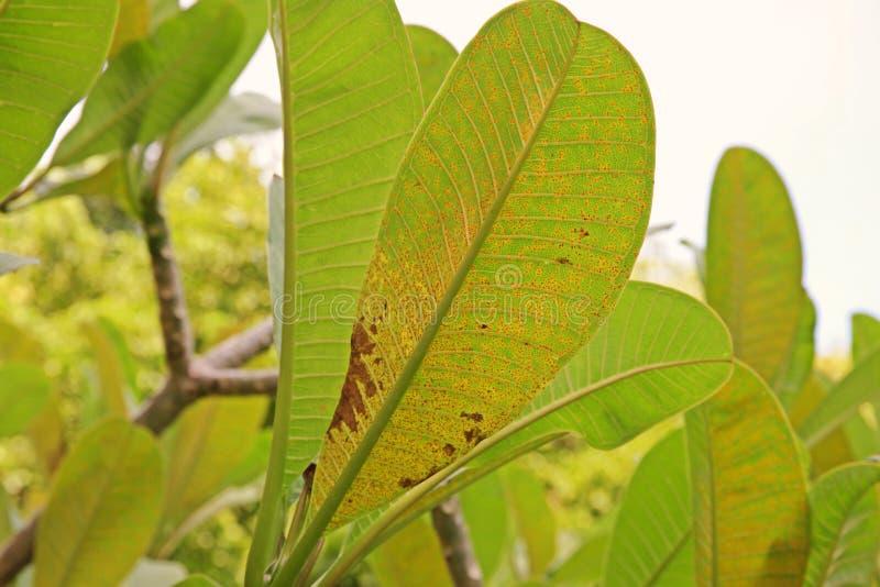 Le Plumeria laisse la maladie, maladie végétale photos stock