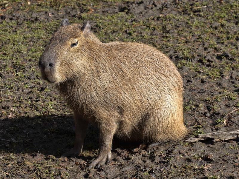 Le plus grand rongeur, Capybara, hydrochaeris de Hydrochoerus photos stock