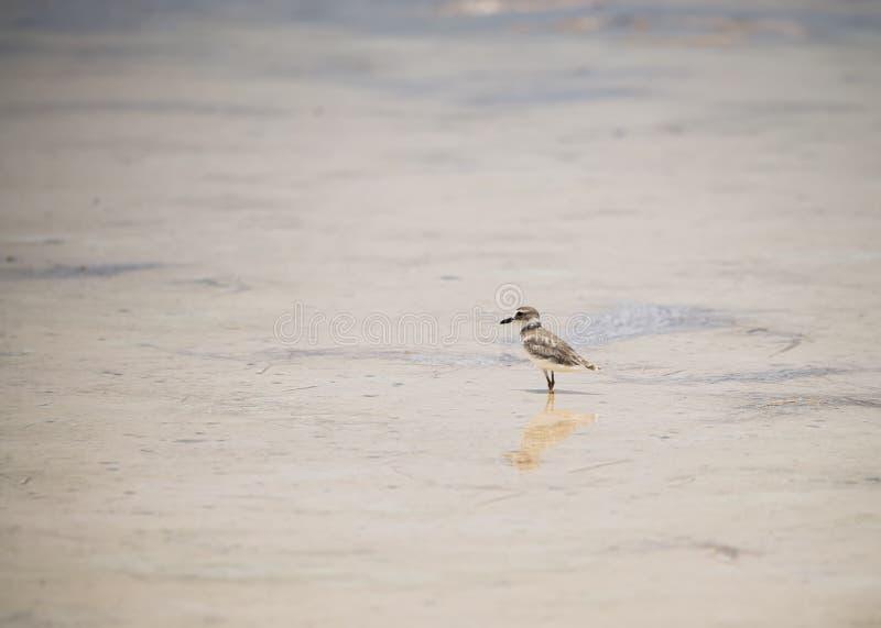 Le pluvier de Wilson sur le Beachn dans le Yucatan, Mexique images stock