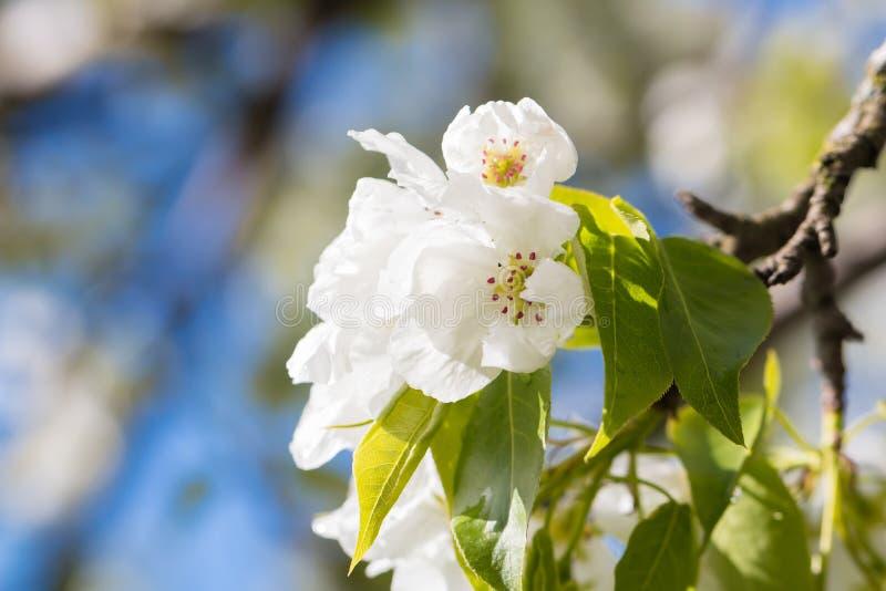 Le poirier fleurit la macro photo photographie stock libre de droits