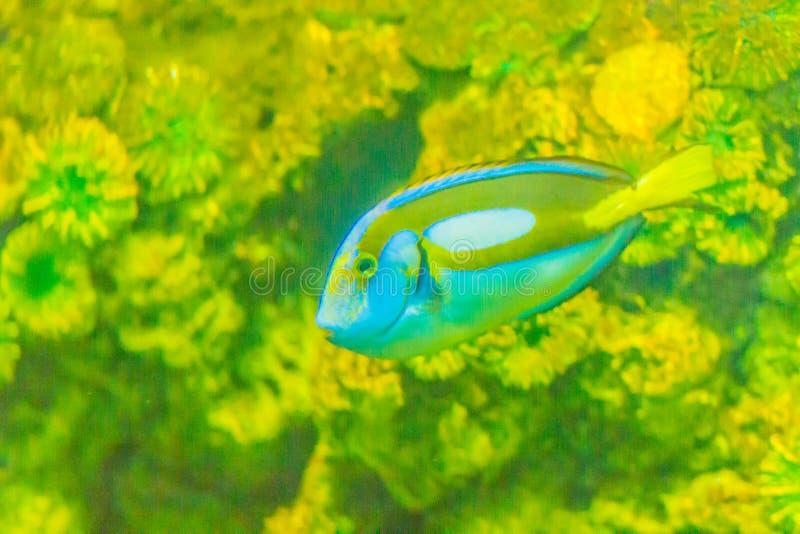 Le poisson bleu majestueux Pacifique mignon de saveur (hepatus de Paracanthurus) est swi photos stock