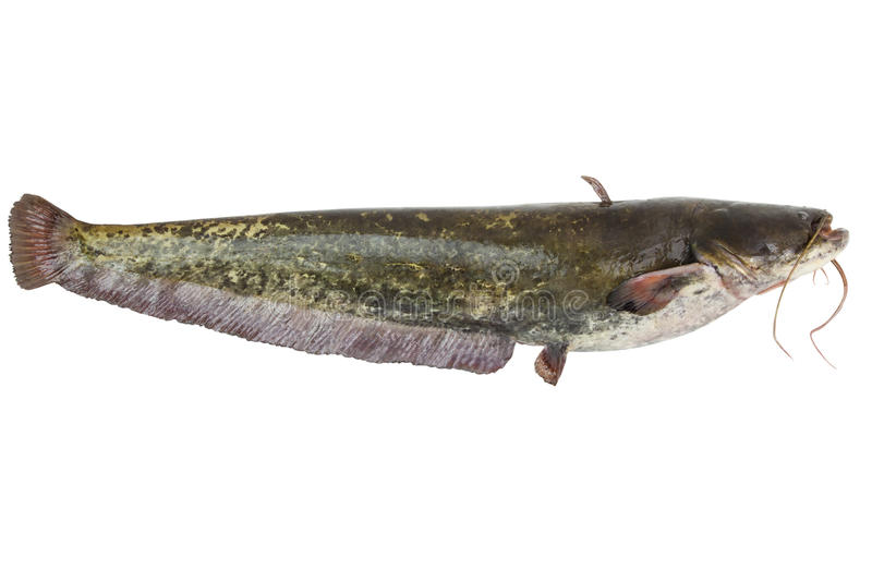 Le poisson-chat de rivière images libres de droits