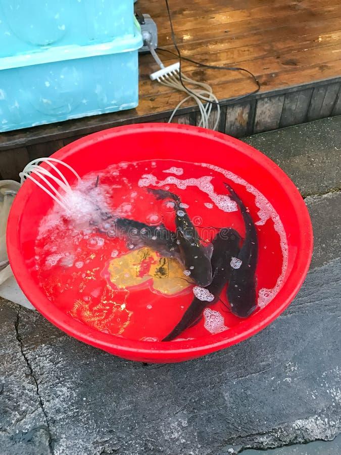 Le Poisson-Chat Vivant Pêche En Bassin En Plastique Sur La Rue