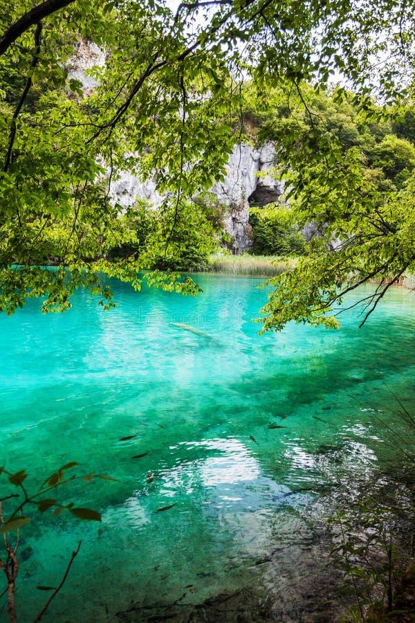 Le poisson nage sous les branches d'un arbre dans le lac avec de l'eau turquoise Plitvice, parc national, Croatie image stock