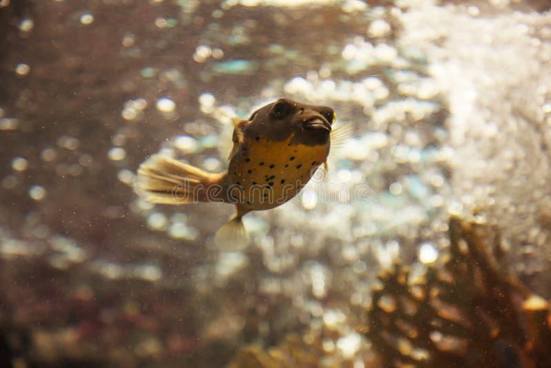 Le poisson ou le décolleur au visage de chien Arothron Nigropunctatus de décolleur de Blackspotted est un petit poisson de mer tr photos libres de droits