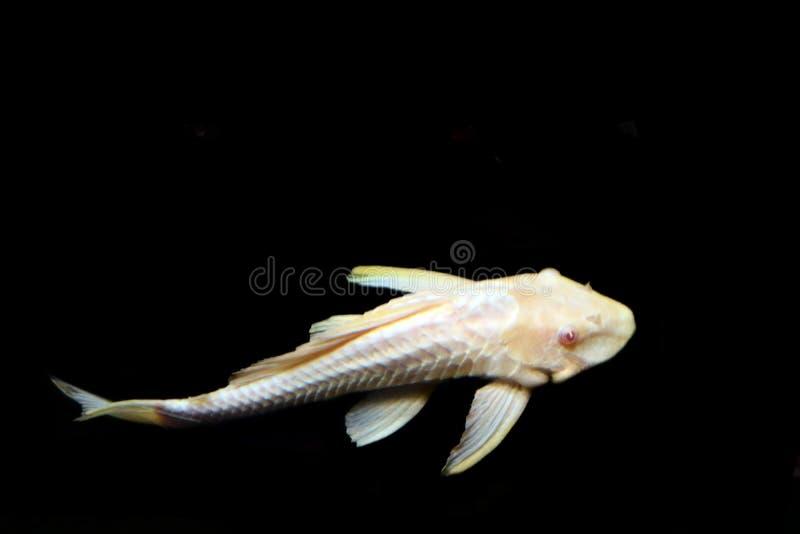 Le poisson vivant marin de mer profonde se trouve sur le fond d'isolement sur un fond noir photographie stock