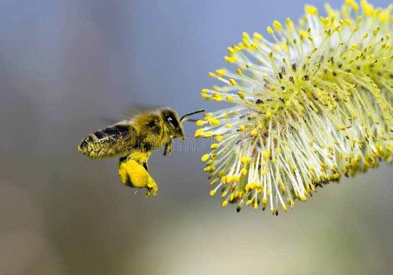 le pollen a couvert l 39 abeille image stock image du pattes fleur 2243447. Black Bedroom Furniture Sets. Home Design Ideas