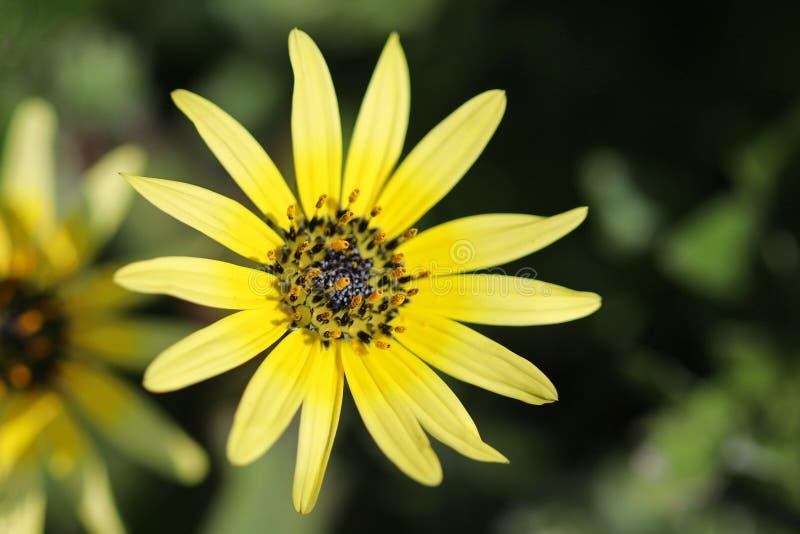 Le pollen sur l'étamine d'un jaune capeweed la fleur Arctotheca calorie photographie stock libre de droits