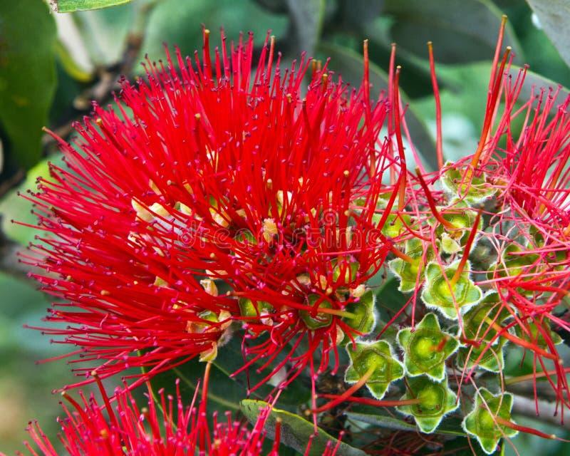 Fleur hawa enne voyante image stock image du voyant - Fleure hawaienne ...