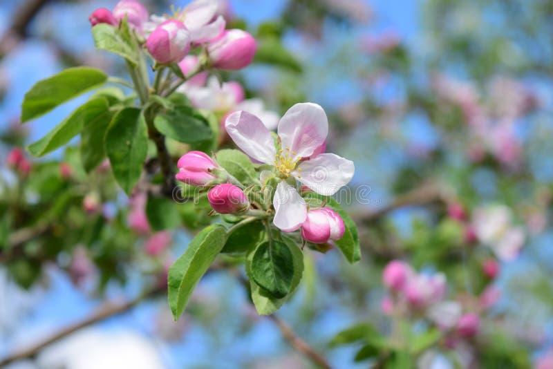 Le pommier de floraison de ressort photographie stock libre de droits