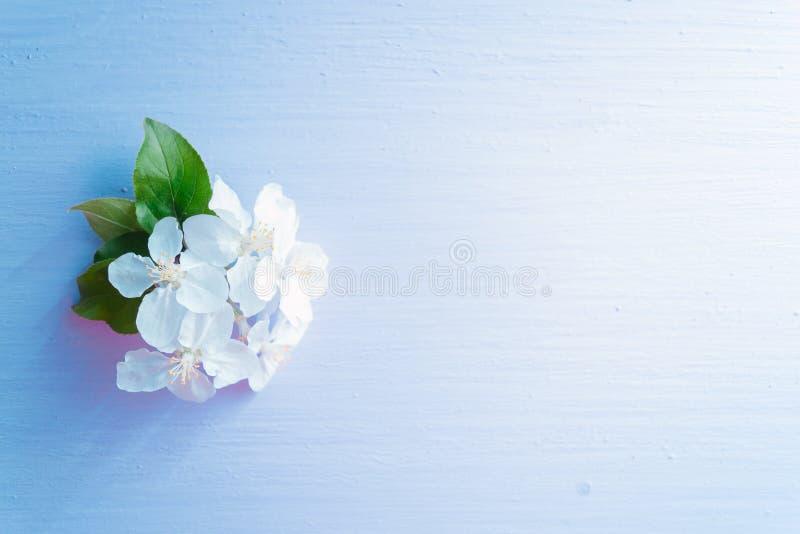 Le pommier fleurissant s'embranche sur un fond en bois bleu photographie stock libre de droits