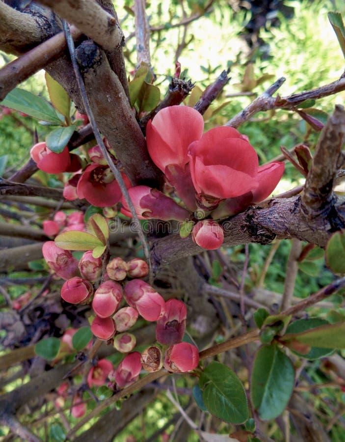 Le pommier fleurit - le purpurea de Malus dans le jardin sur le fond naturel photographie stock libre de droits