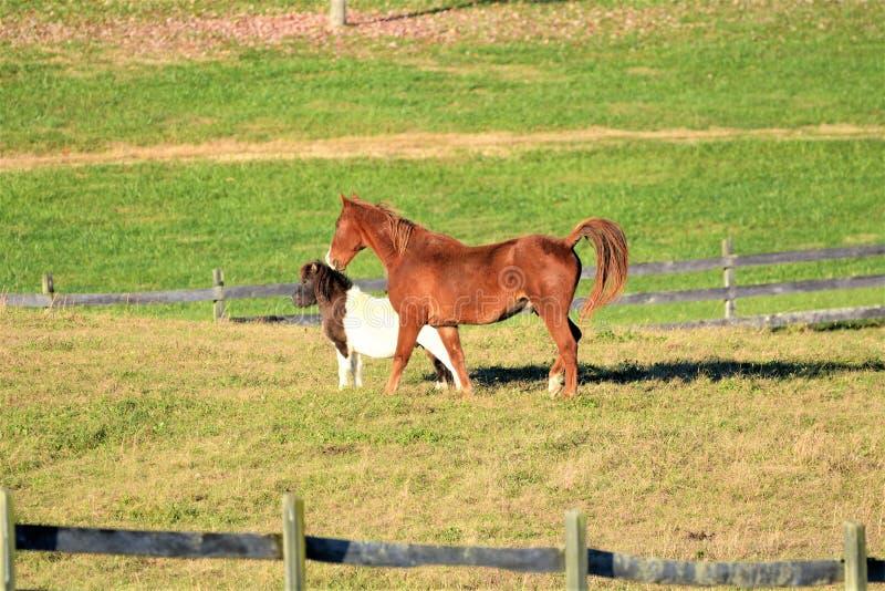 Le poney brun de jument et de montagne sont meilleur des amis dans le grand pâturage photos stock