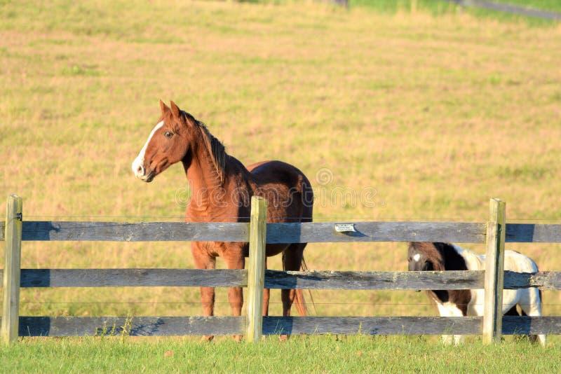 Le poney de montagne suit son meilleur ami à la barrière recherchant des carottes photo libre de droits