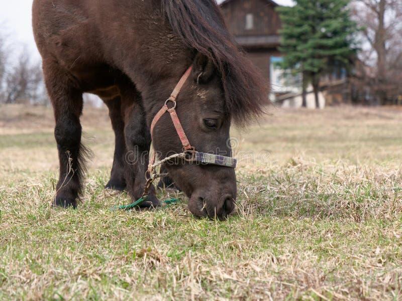 Le poney frôle sur une pelouse en nature au printemps image stock