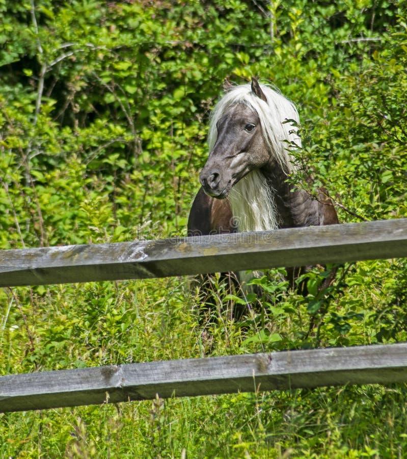 Le poney sauvage sauvage avec une longue crinière frôle sur Grayson Highlands photos libres de droits
