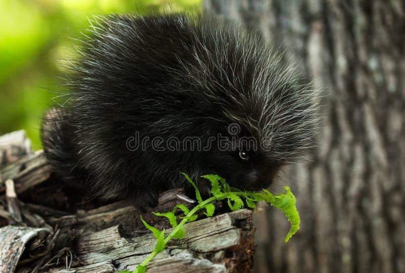Le porc-épic de bébé (dorsatum d'Erethizon) renifle à la fougère photo stock