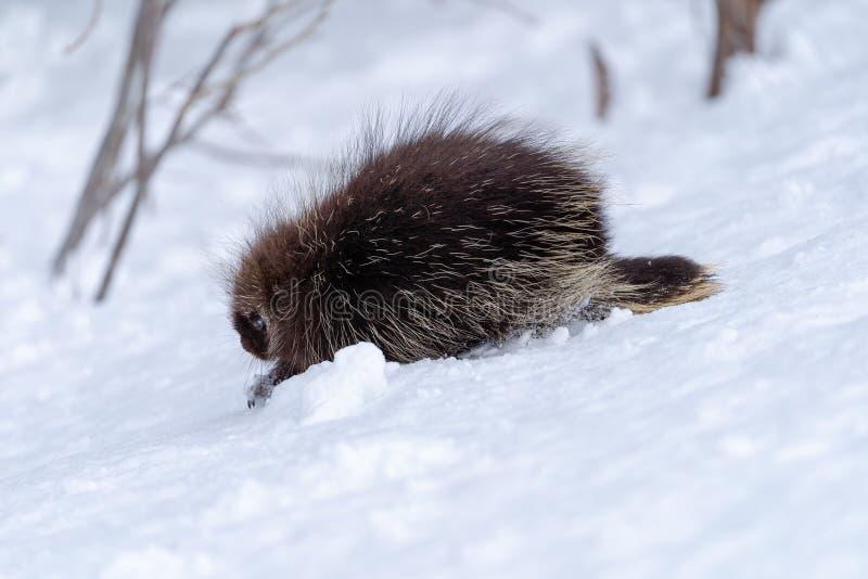Le porc-épic marche à travers la terre neigeuse images stock