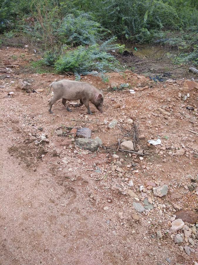 Le porc images stock