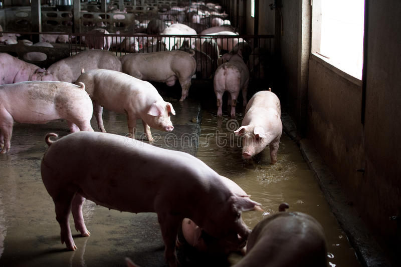 Le porc de ferme, marchant dans l'étable, regard aiment triste, peut le ` t aller outsid images stock