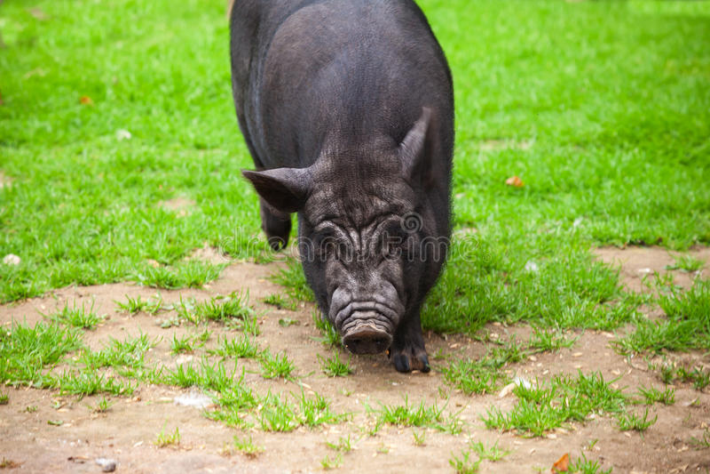 Le porc noir marche sur l'herbe verte photographie stock
