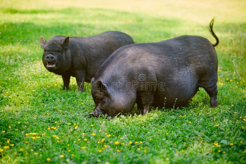 Le porc Pot-gonflé par Vietnamien frôlent sur la pelouse avec l'herbe verte fraîche images stock
