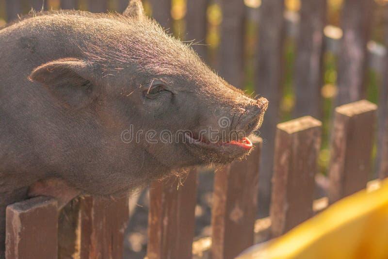 Le porc sourit porc foncé avec le rose image stock