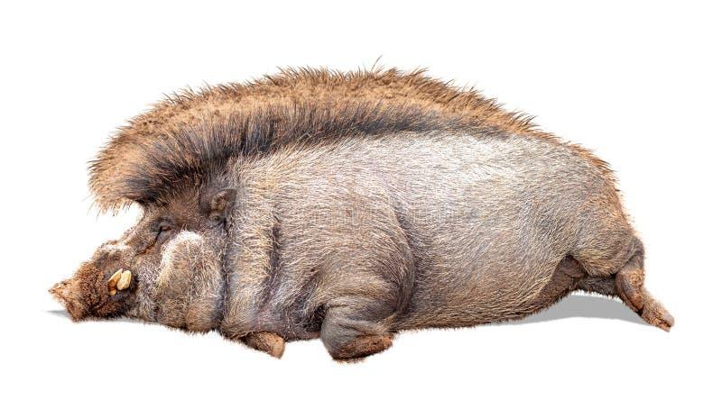 Le porc Warty paresseux drôle a extrait images stock
