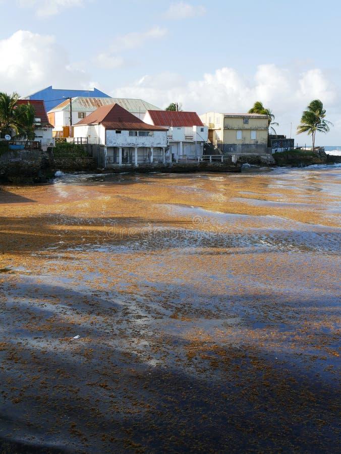 Le port du moule en Guadeloupe a pollué par Sargassum image stock