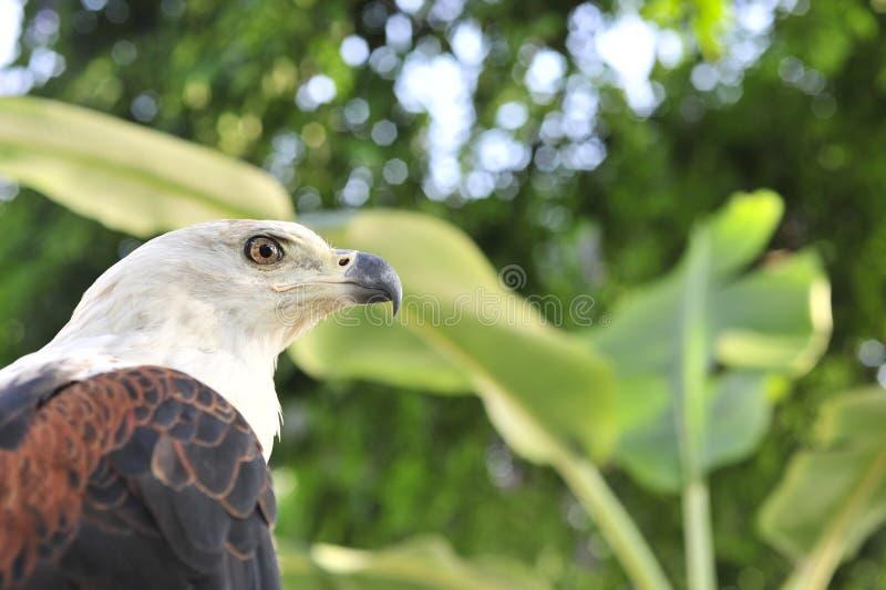 Le portrait africain d'Eagle de poissons (vocifer de Haliaeetus) d'un poisson Eagle africain image stock