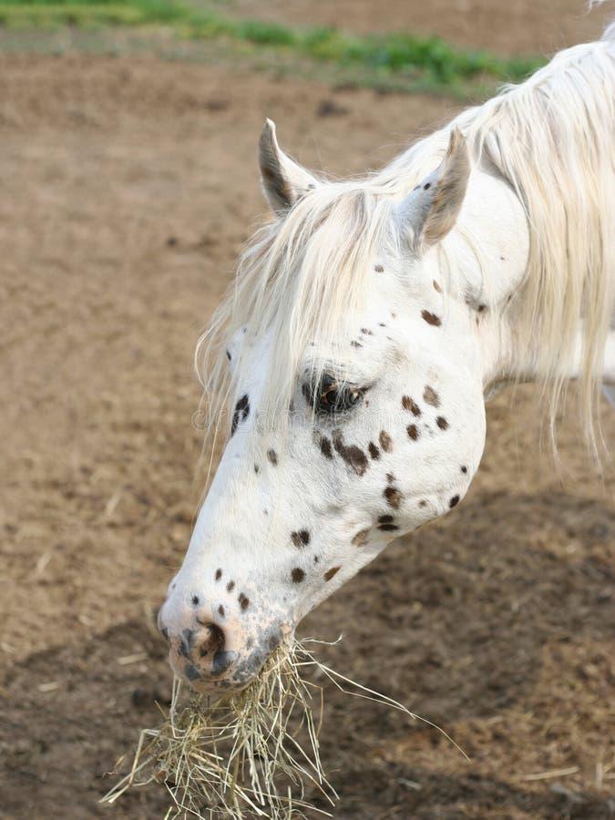 Le portrait d'un blanc mignon a repéré le cheval mangeant le foin photographie stock