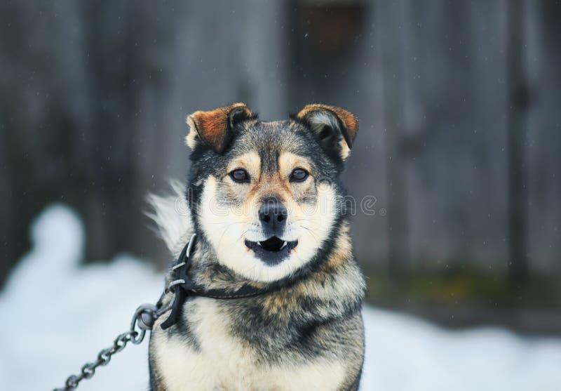 Le portrait d'un chien drôle écorce découvrir menaçant ses dents image libre de droits