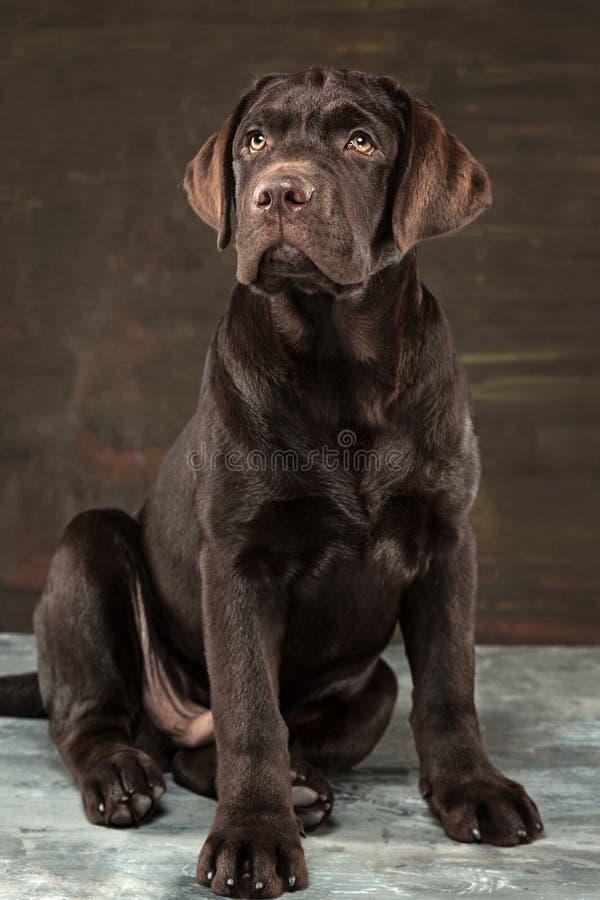 Le portrait d'un chien noir de Labrador pris contre un contexte foncé images stock