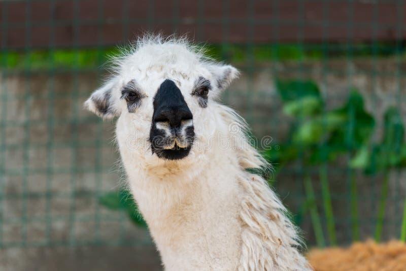 Le portrait d'un lama blanc dans les lamas cultivent photographie stock